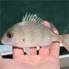 barotraumaOnFish_Diamond