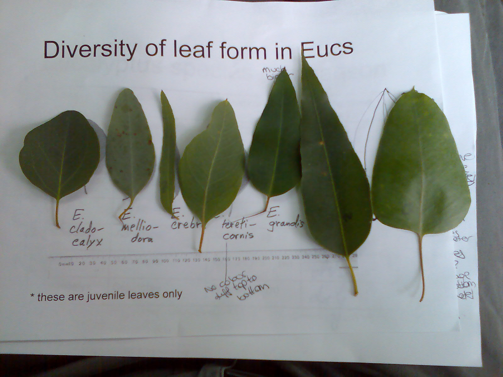 Leaf form in eucalypts