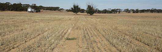 Grain stubble remaining after harvest at Karoonda, SA