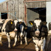 Sustainable dairy sheds