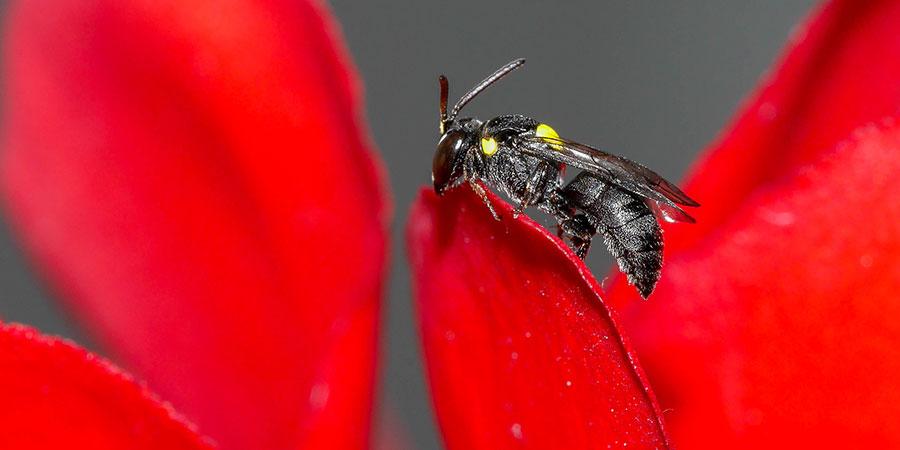 Pollinating native stingless bee