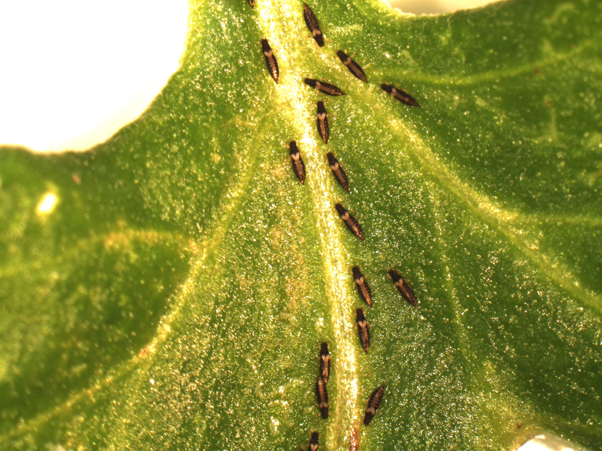 Adults feeding on leaf