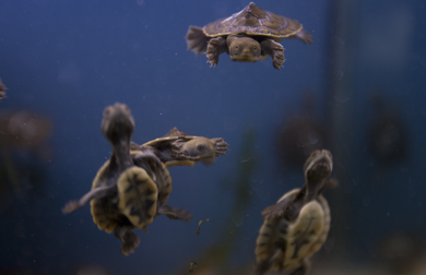 Turtles swimming underwater
