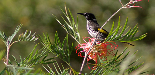 Honeyeater on a Grevillea