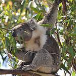 Koala 150