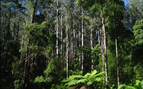 Eucalypt tree
