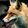 Red fox (lat. vulpes vulpes) in front of a pile of wood in the forest