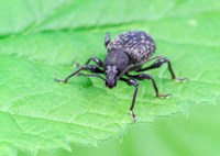 Adult Vine Weevil