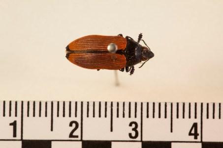 Castiarina amplipennis.jpg