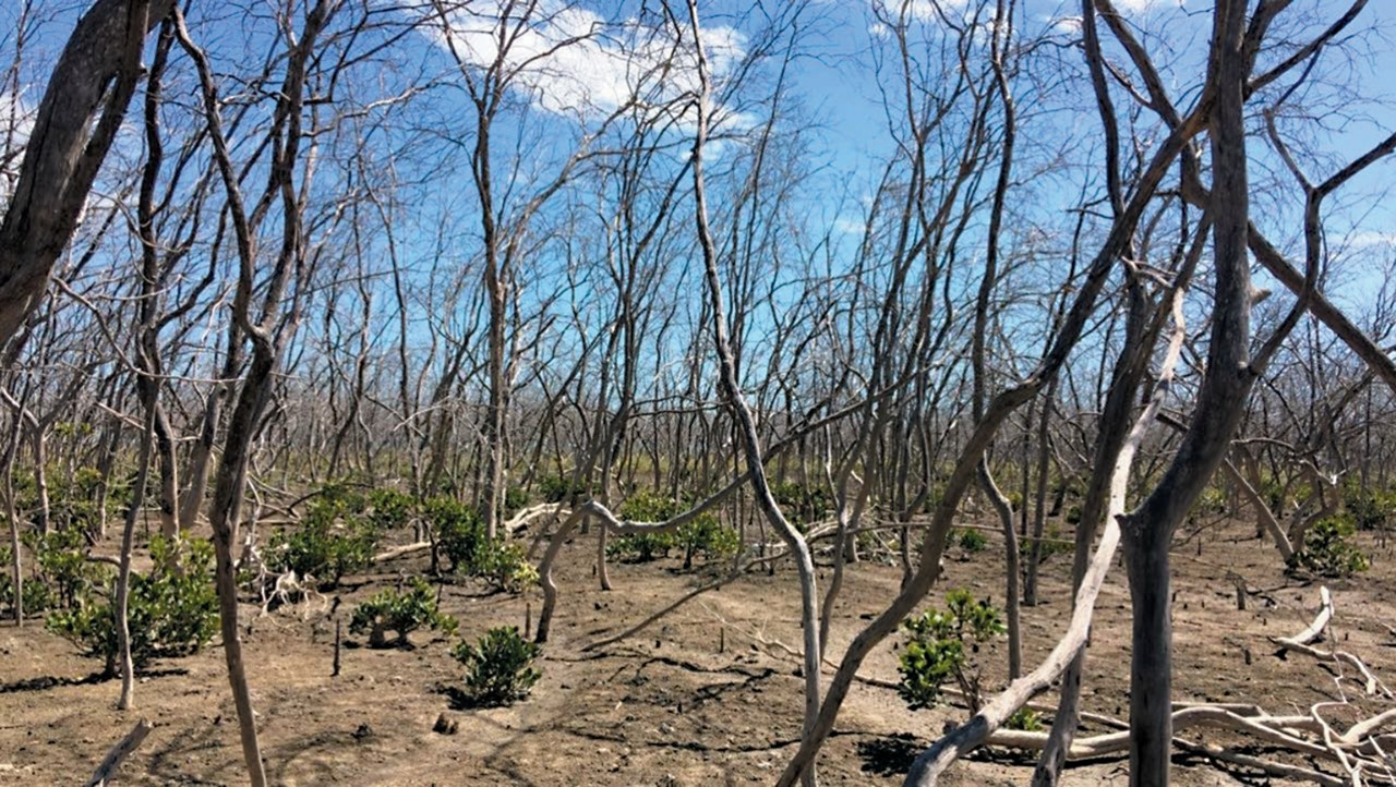 Trees killed by drought