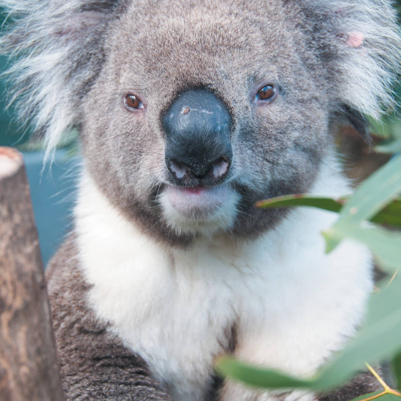The Koala - Phascolarctos Cinereus